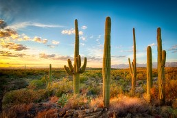 Saguaros photographed at Saguaro National Park at sunset in Tucson, Arizona by Paul Davis Photography.